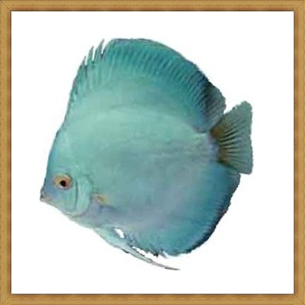 Hi-fin Diamond Discus
