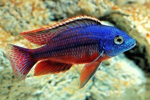 Ikan African Cichlid