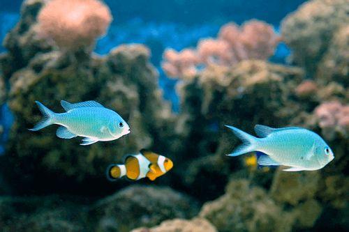 18 Jenis Ikan Hias Air Laut Terbaik Dan Paling Bagus Untuk Pemula Gerava Ikan Hias Burung Kicau Kucing Anjing