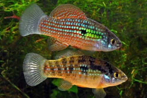 Ikan American Flagfish