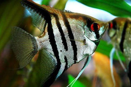 Ikan Anglefish