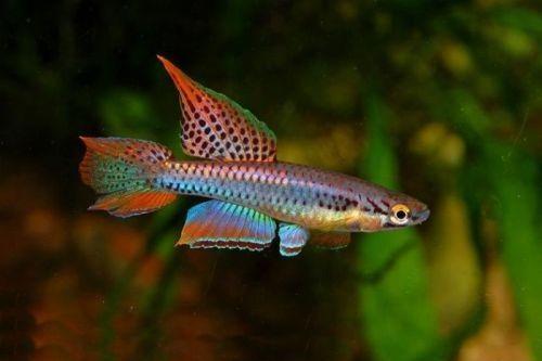 Ikan Bivittatum