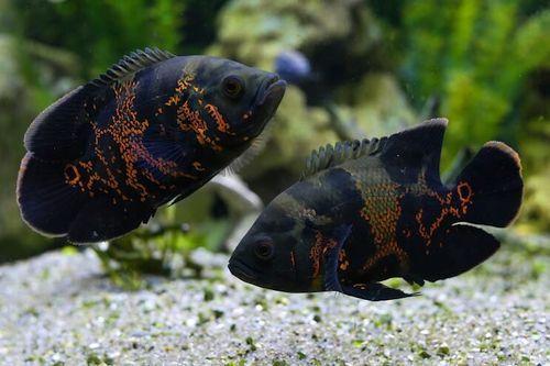 Ikan Black Oscar