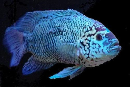 Ikan Blue Oscar