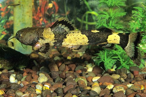 Ikan Bumblebee Catfish