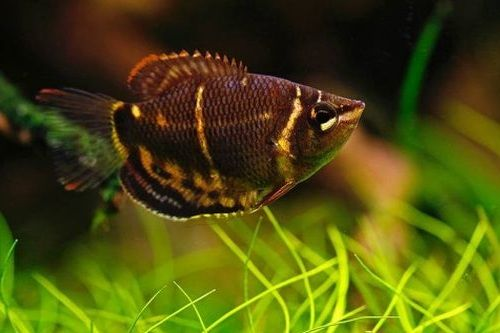 Ikan Chocolate Gourami
