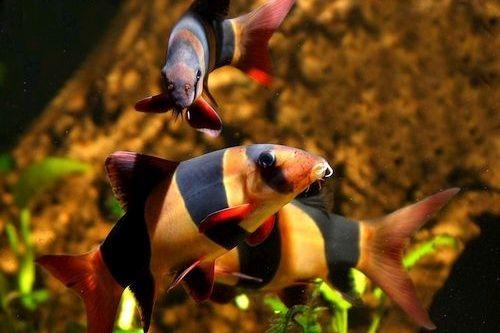 Ikan Clown Loach