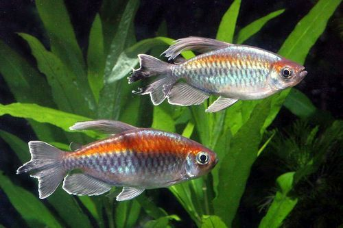 Ikan Congo Tetra