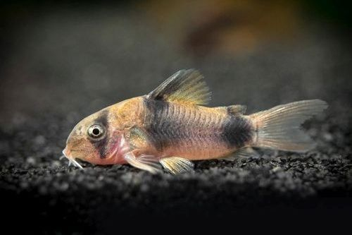 Ikan Corydora Catfish