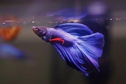 Ikan Cupang Sedang Makan