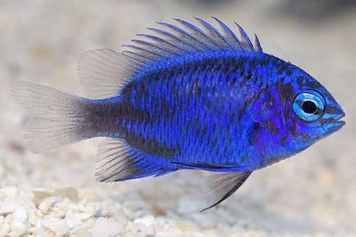 Ikan Damselfish