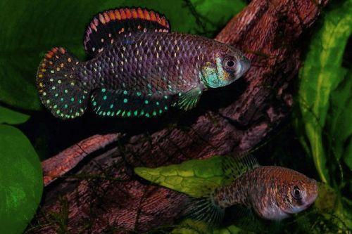 Ikan Dwarf Argentine Pearl Fish