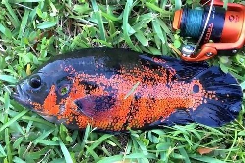 Ikan Florida Oscar