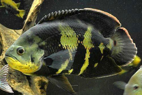 Ikan Green Oscar