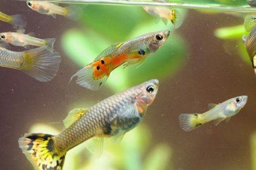 Ikan Guppy diet