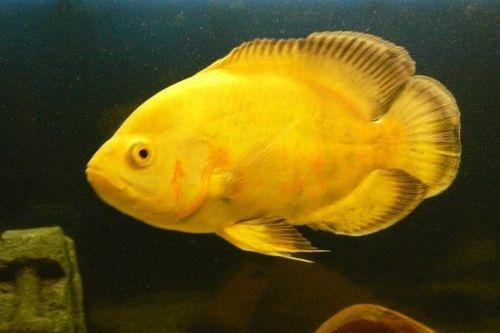 Ikan Lemon Oscar