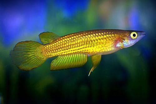Ikan Lineatus