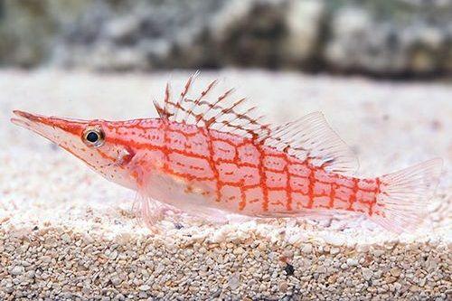 18 Jenis Ikan Hias Air Laut Terbaik Dan Paling Bagus Untuk Pemula