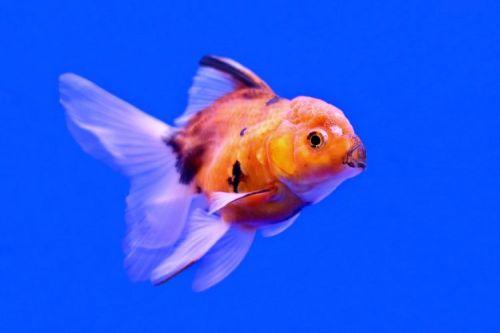 Ikan Mas Koki Berubah Hitam