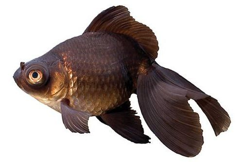 Ikan Mas Koki Black Moor 2