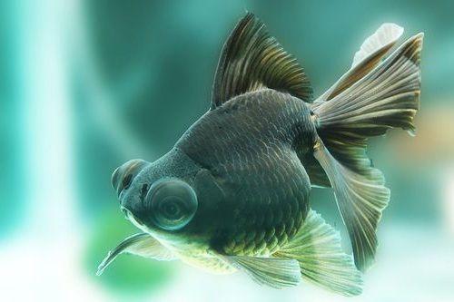 Ikan Mas Koki Black Moor Lucu