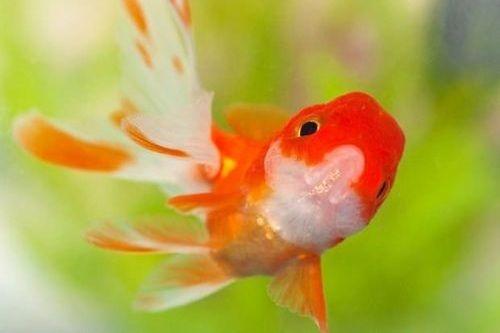 Ikan Mas Koki2
