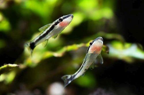 Ikan Otocinclus Catfish