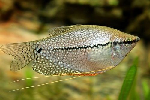 Ikan Pearl Gourami