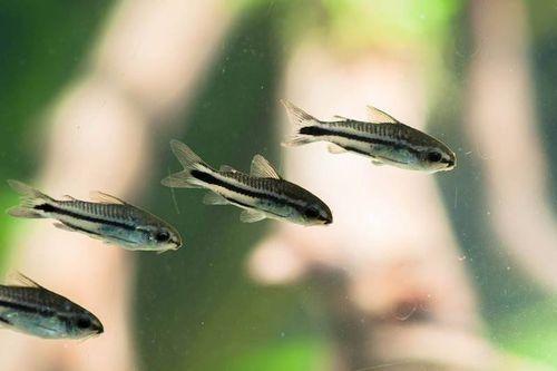 Ikan Pygmy Cory