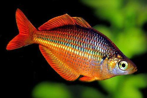 Ikan Rainbow Fish