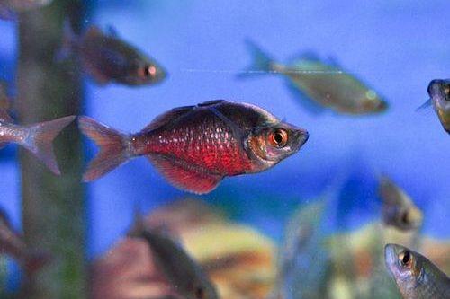 Ikan Red Rainbowfish