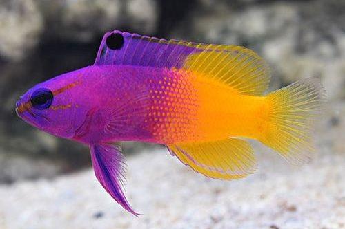 Ikan hias air laut paling warna warni