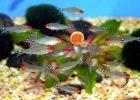 Ikan Rummy nose Tetra