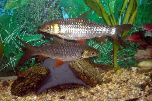 Ikan Scissortail Rasbora
