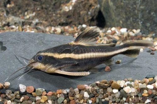 Ikan Striped Raphael Catfish