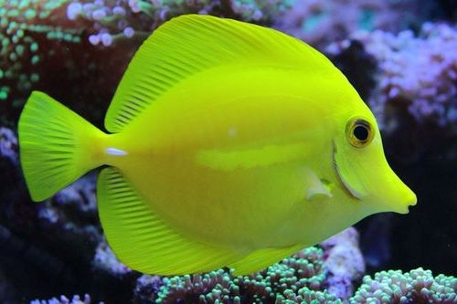 Ikan Tang