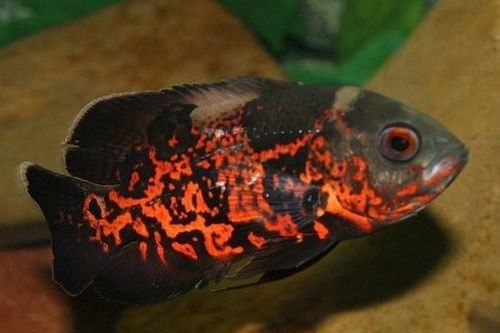Ikan Tiger Oscar