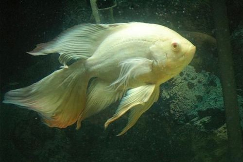 Ikan Veil Tail Oscar