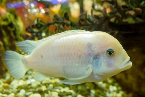 Ikan White Oscar