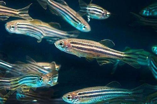 Ikan Zebra Danio
