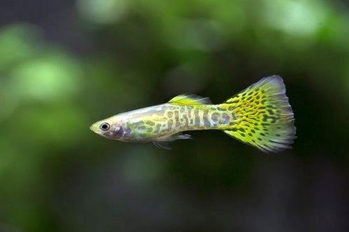 Ikan guppy kobra