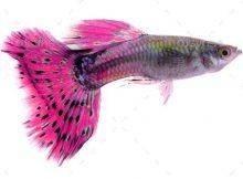Ikan guppy sendirian