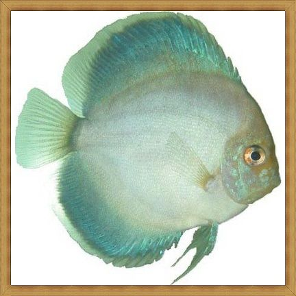 Jack Wattley Platinum Gold Discus