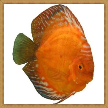 Jack Wattley Red Panda Discus