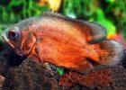 Jenis Ikan Oscar