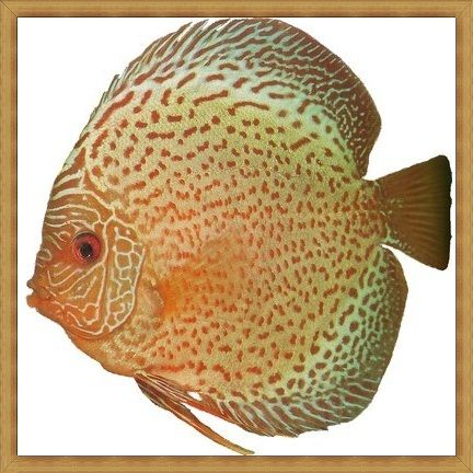 Jewels Diamond Spots Discus