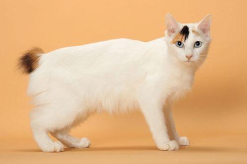 Kucing Bobtail Jepang