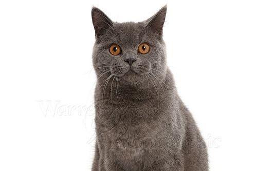 Kucing British Shorthair Kucing Gendut Dan Lucu Dari Inggris