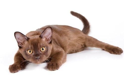 Kucing Burma lucu