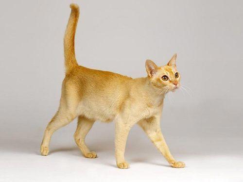 Kucing Ceylon
